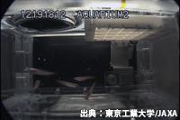 飼育開始から55日目のメダカの様子(12月19日撮影)(出典:東京工業大学/JAXA)
