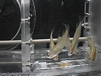 飼育水槽内のメダカの様子(出典:JAXA)